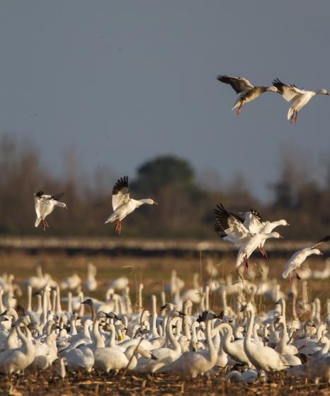 Ross' Goose landing