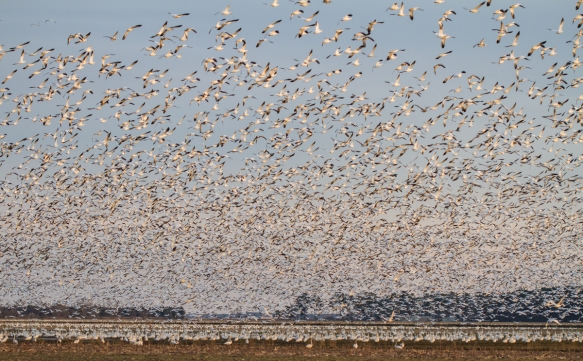 Snow Geese blast off