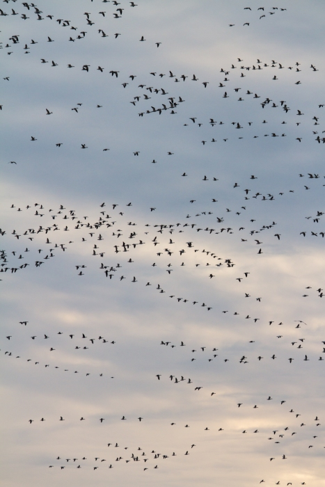 Snow Geese flying against western sky at sunset