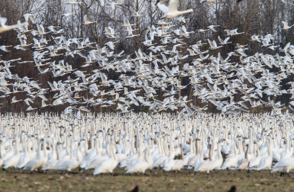 Tundra Swans taking off from field 1
