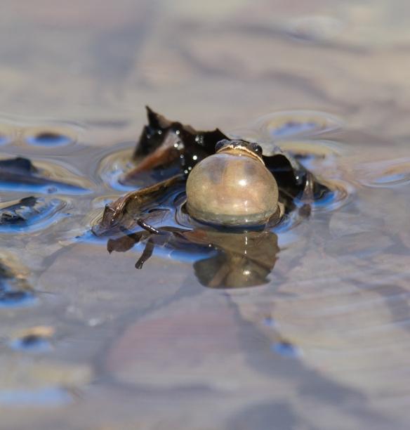 Upland Chorus Frog calling 2