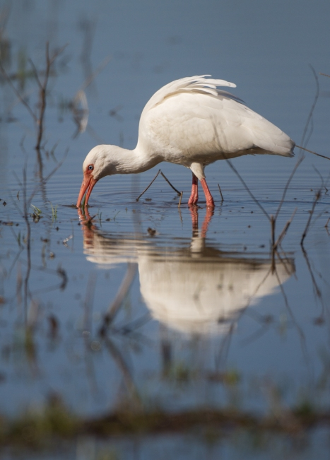 White Ibis and reflection 1