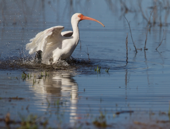 White Ibis bathing 1