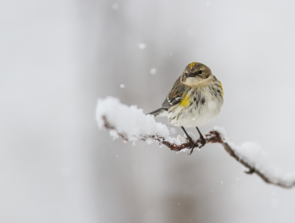 Yellow-rumped warbler in snow