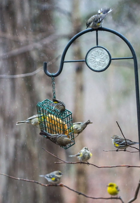 Birds at suet