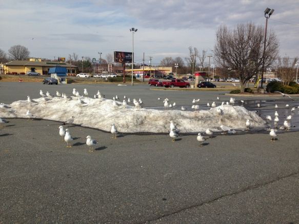 gulls in parking lot on snow