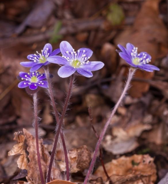 hepatica blooms