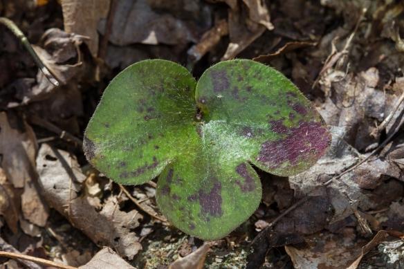 Hepatica leaf