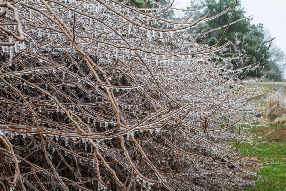 Ice covering grape vine