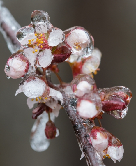 Plum blossoms in ice