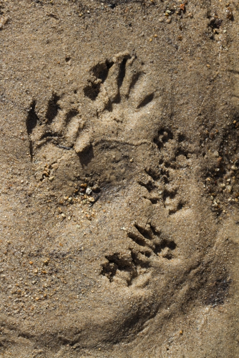 Raccoon and squirrel tracks