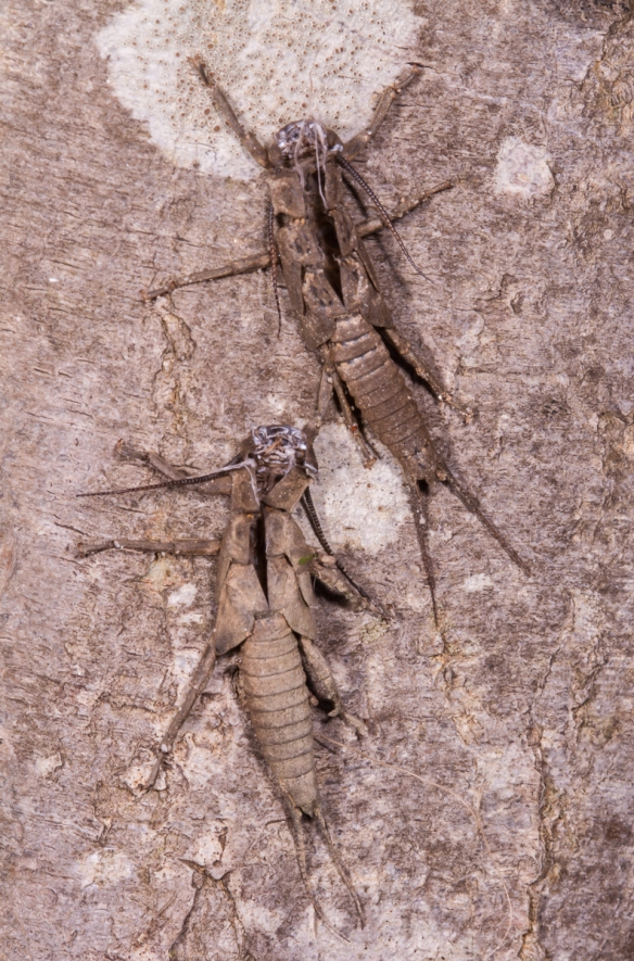 Stonefly sheds on tree trunk