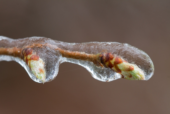 Tree buds coated in ice