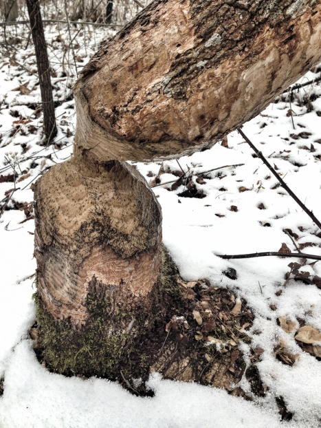 Tree cut by Beaver