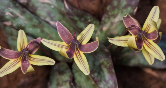 trout lilies top view