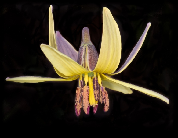 Trout lily on black background