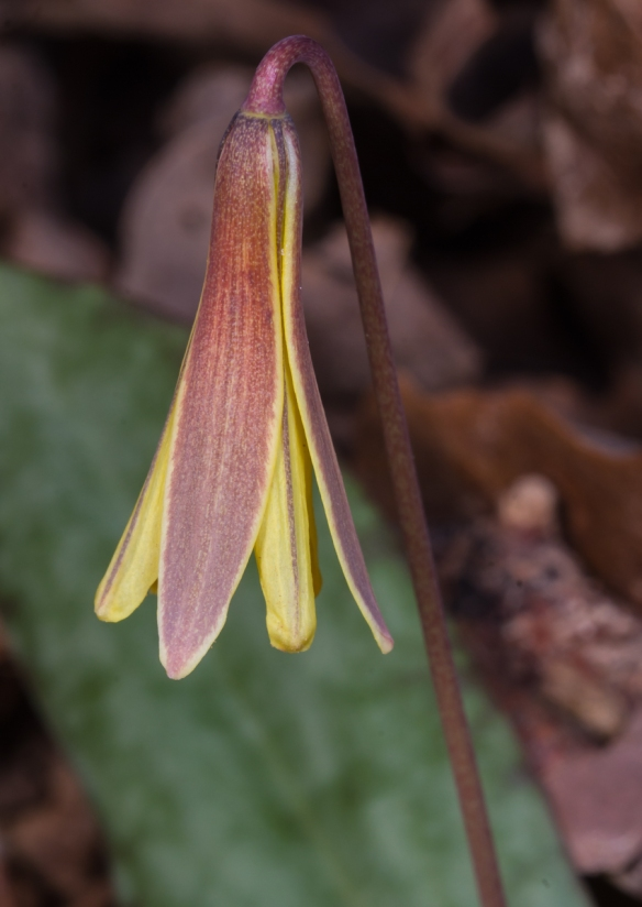 Unopened trout lily