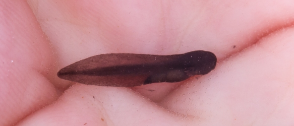 Wood Frog tadpole at hatching