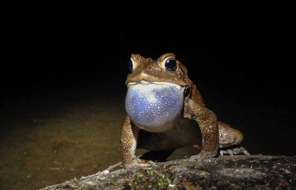 American Toad calling head-on