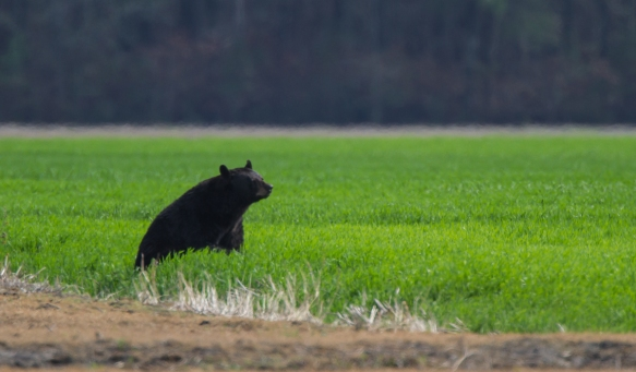 Black Bear eating wheat