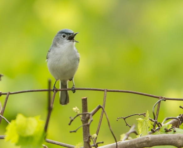 Blue-gray Gnatcatcher singing
