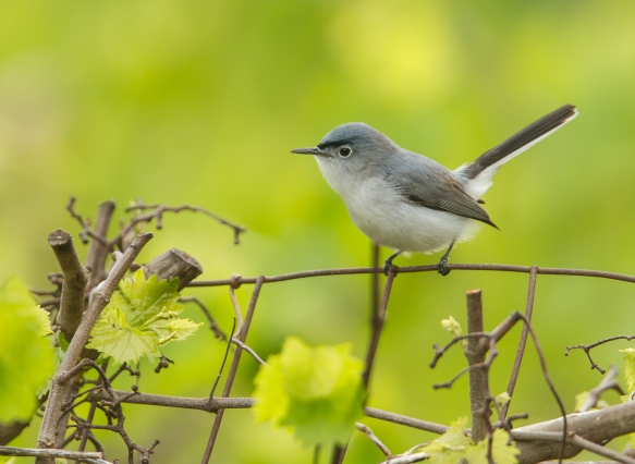 Blue-gray Gnatcatcher showiung their distinctive, and active, long tail (click photos to enlarge)