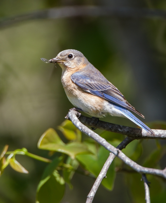 Bluebird with fly
