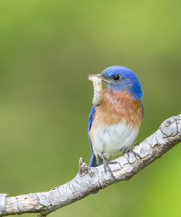 Bluebird with grub 3