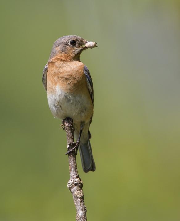 Bluebird with mystery item