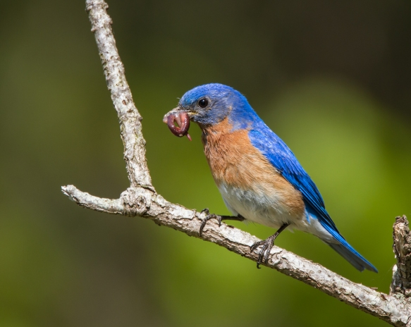 Bluebird with worms