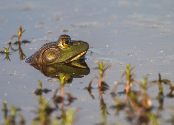 Bullfrog head 2
