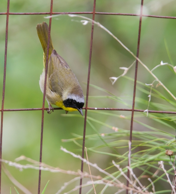 Common Yellowthroat male on fence 1