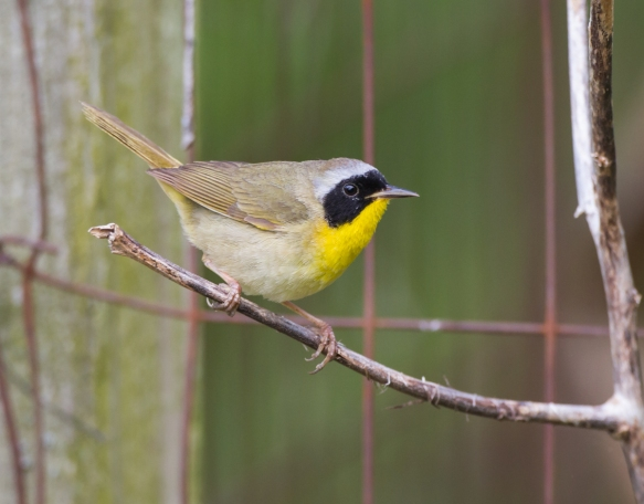 Common Yellowthroat male on fence 2