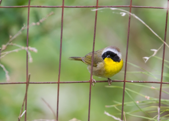 Common Yellowthroat male on fence