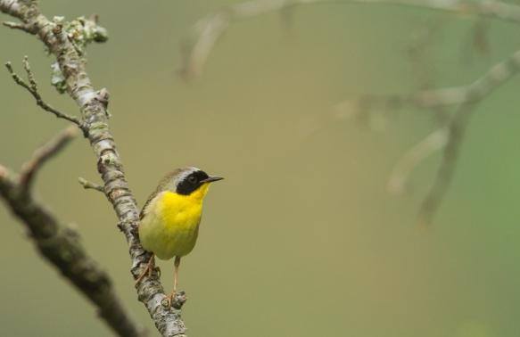 Common Yellowthroat male on twig 1
