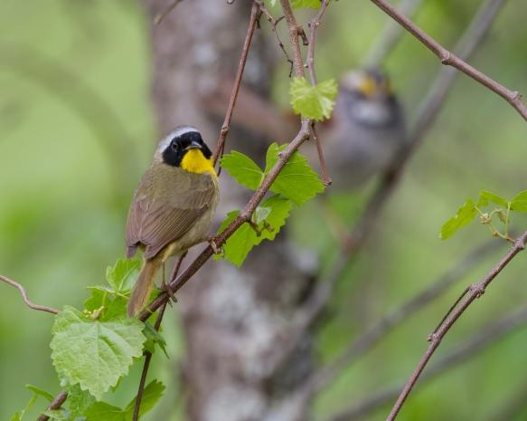 Common Yellowthroat male on twig