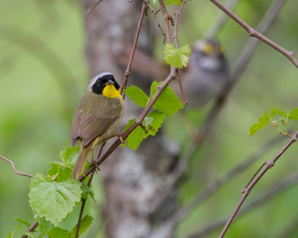 Common Yellowthroat male on twig