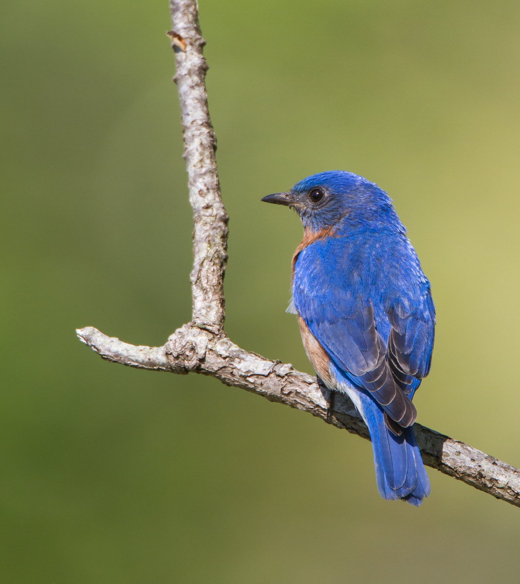 Blue bird - photo#41