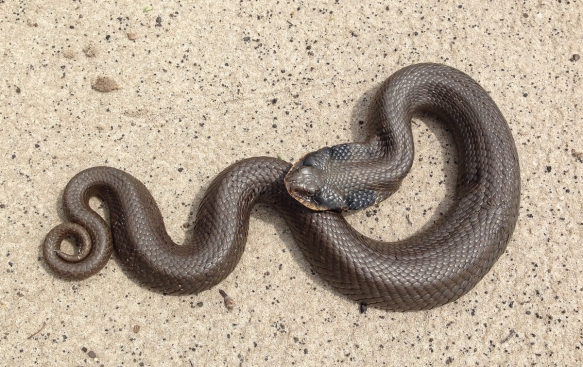 Eastern Hognose Snake 2