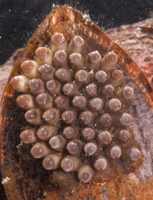 Giant Water Bug with eggs on back close up of eggs