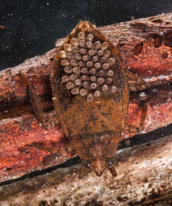 Giant Water Bug with eggs on back