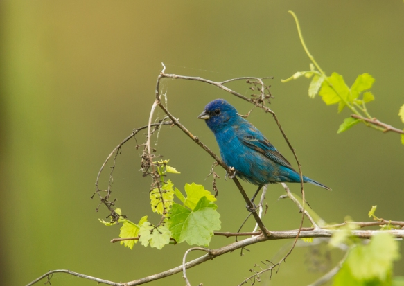 Indigo Bunting on grape vine 1