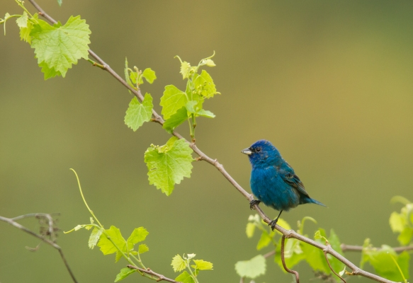 Indigo Bunting on grape vine