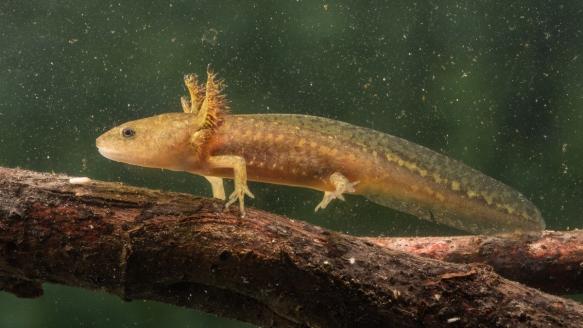Marbled Salamander larva 1