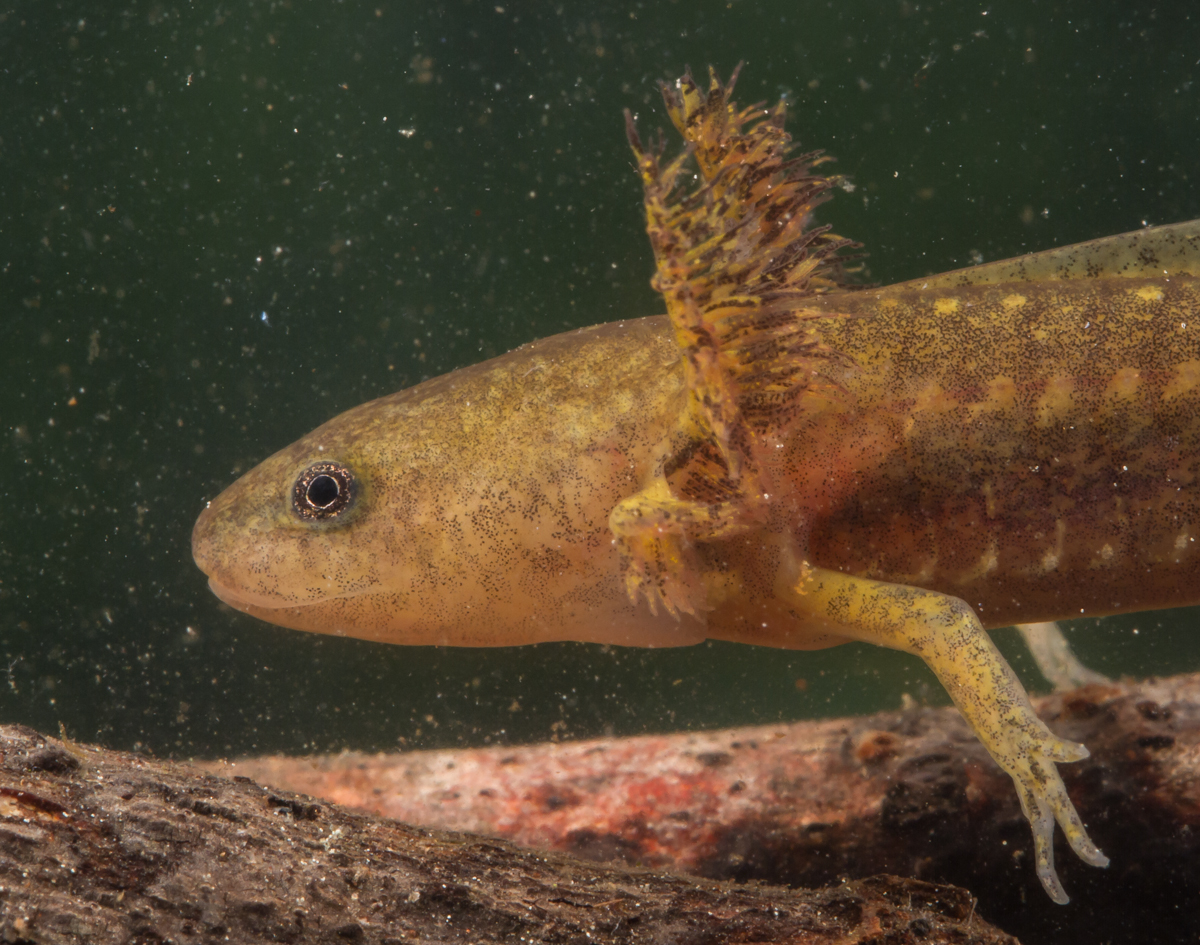 a recount on capturing salamanders Axolotl (ăk´səlŏt´əl), a salamander [1], ambystoma mexicanum, found in certain  lakes in  the rest of the story recounts how this fantastic transformation took  place  animals are captured in the wild and live the rest of their lives in  captivity.