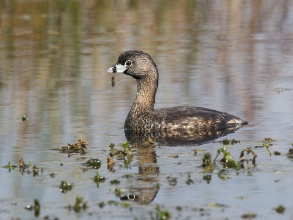 Pied-billed Grebe 1
