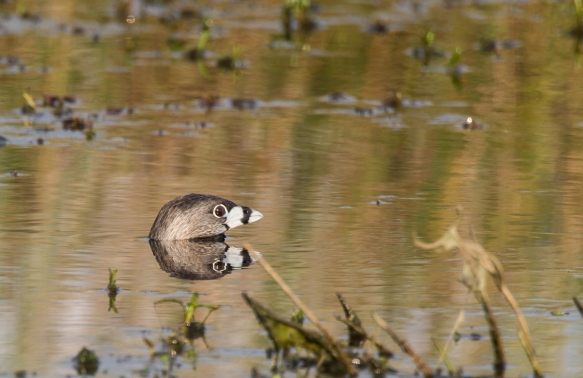 Pied-billed Grebe head only