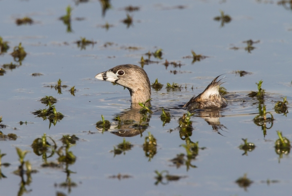 Pied-billed Grebe starting to submerge 1