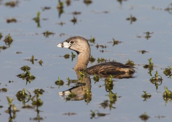 Pied-billed Grebe starting to submerge