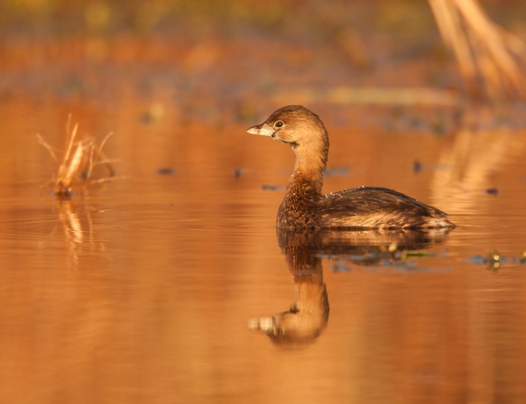 Pied-billed Grebe winter1